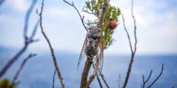 Singzikade an der Küste in Kroatien