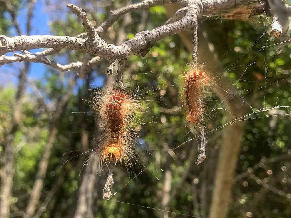 Caterpillar infestation in parts of Croatia: SeaHelp warns of gypsy moth
